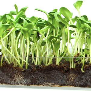 Sunflower Shoots