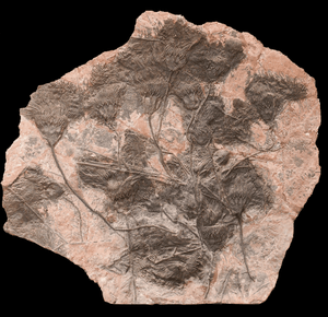 GIANT Museum Grade Crinoid Fossil #10