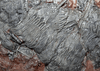 "GIANT Museum Grade Crinoid Fossil #11 {79"" x 59""  {77 Crinoids amazing preserved pinnules} (SOLD)"