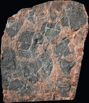Large Crinoids Fossil Plate #7