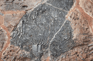 {SOLD!} Large Crinoids Fossil Plate #7