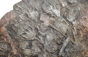 {SOLD!} Museum Size and Grade Crinoid Fossil plate #8 with 63 Crinoids {SOLD!}