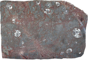 "Polished Ammonite & Orthoceras Red Macro Fossil Table Top #1H (53"" x 39"") {Contact For Price}"