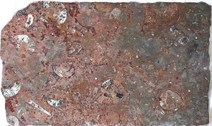 "Polished Ammonite & Orthoceras Red Macro Fossil Table Top #1K (42"" x 25"") {Contact For Price}"