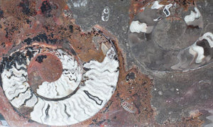 "Polished Ammonite & Orthoceras Red Macro Fossil Table Top #1M (50"" x 32"") {Contact For Price}"