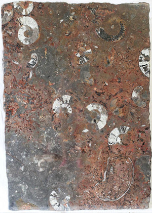 "Polished Ammonite & Orthoceras Red Macro Fossil Table Top #1N (51.5"" x 30"") {Contact For Price}"