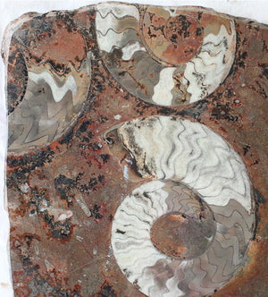 Polished Ammonite & Orthoceras Red Macro Fossil Table Top #1N