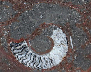 Polished Ammonite & Orthoceras Red Macro Fossil Table Top #1P