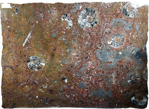 Polished Ammonite & Orthoceras Red Macro Fossil Table Top #1A