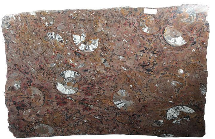 Polished Ammonite Amp Orthoceras Red Macro Fossil Table Top