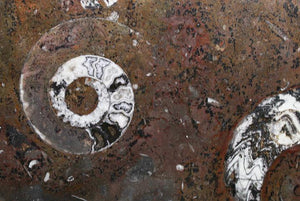 Polished Ammonite & Orthoceras Red Macro Fossil Table Top #1D