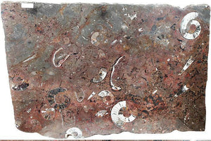 "Polished Ammonite & Orthoceras Red Macro Fossil Table Top #1F (48"" x 33"" X 1 1/4"") {Contact For Pric"