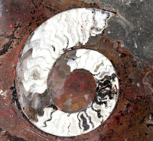 Polished Ammonite & Orthoceras Red Macro Fossil Table Top #1F