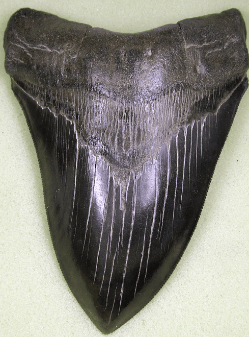 Collector Jet Black Megalodon Shark Tooth
