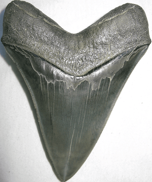 Collector Megalodon Shark Tooth 015