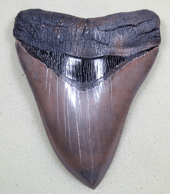 Museum Grade Flawless Megalodon Shark Tooth 023