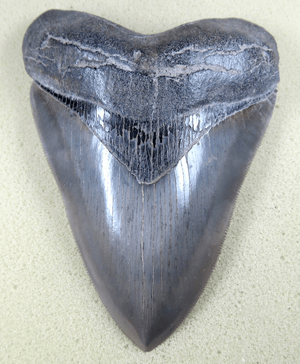 "Museum Grade HEAVY Megalodon Shark Tooth 029 (L1 - 5.21"" x L2 - 4.96"" x nearly 4"" Wide)"