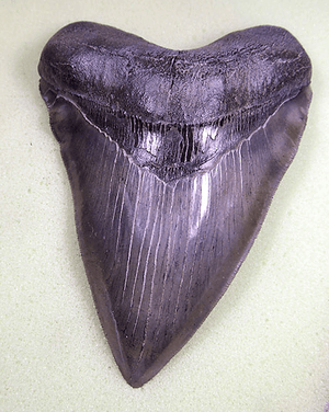 Museum Meg Shark Tooth W/Abnormal Tooth Pattern 004  (L1 - 5.55