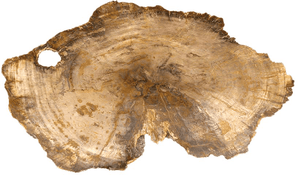 "Beautiful Large Petrified Teak Slab #1 Great Polish  (40"" x 23"" x 1"") {Contact For Price}"