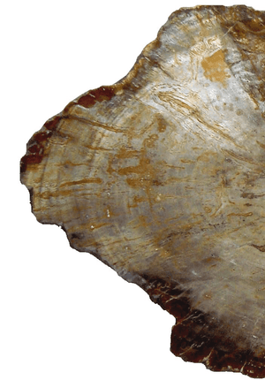 Beautiful Large Petrified Teak Slab #1 Great Polish