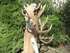 MONSTER  Red Stag Trophy #134 Wide, Heavy & Palmated 22 Points {FREE SHIPPING!}
