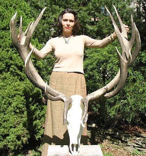 Red Stag Trophy #113