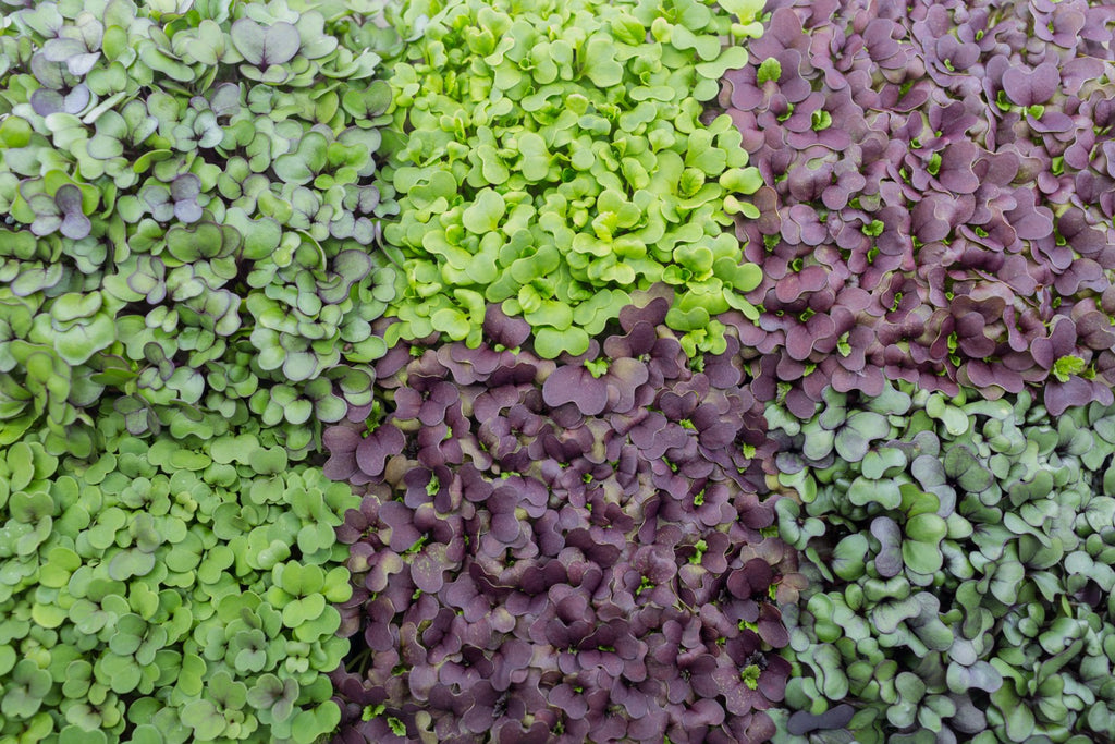 What's the difference between Sprouts vs. Cress vs. Microgreens vs. Baby Greens?