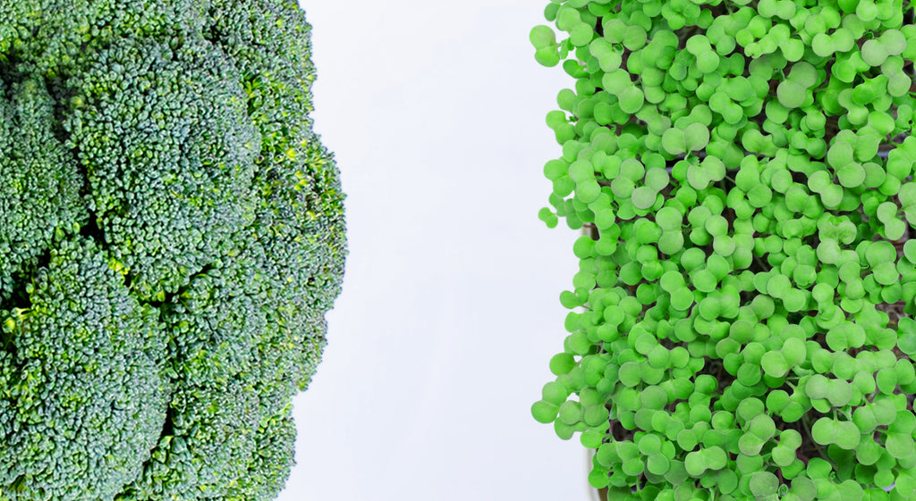 7 Reasons to Eat More Broccoli….. Microgreens!