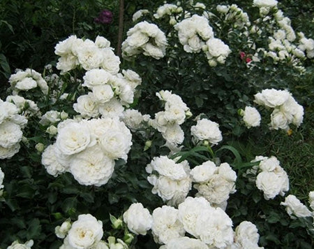 Landscaping Roses