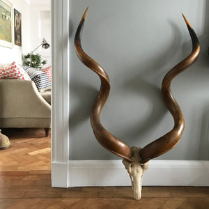 A wonderful, very large pair of the Antique African Kudu horns. Superbly formed, with twists and amazing rich warm colours. A real statement piece for any wall - SHOP NOW - www.intovintage.co.uk
