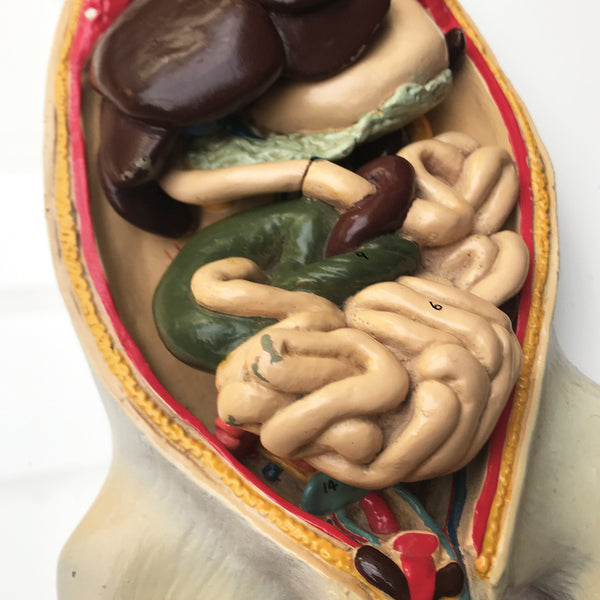 Wonderful vintage rat anatomy model made by Philip Harris Biological Ltd of England - SHOP NOW - www.intovinatage.co.uk