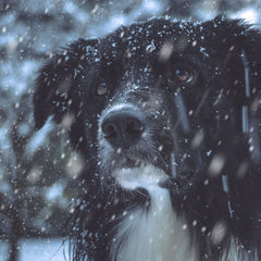 dog walking with ice grips from ICEGRIPPER