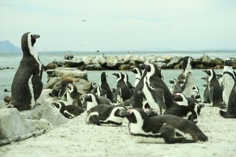 Betty's Bay and Penguin colony | Olá Lindeza blog