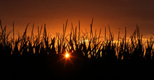 The Gazette Cedar Rapids Postcards Corn Sunset
