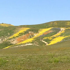 California wild flower super bloom in spring time