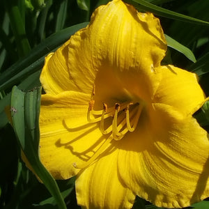Yellow Lollipop Daylily