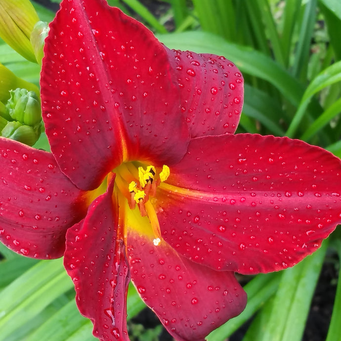 Ruby Throat Daylily
