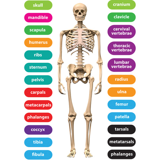Magnetic Human Skeleton 8x11 26pc Set Die Cut Sheet