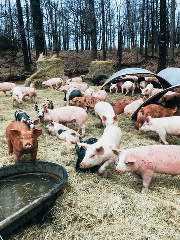 A group of pigs frolicking in a pasture with pig huts nearby
