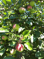 All Farmgate Cider organic apples are tree ripened.