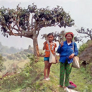 A photograph of two Vietnamese women holding tea buds as an ancient tea tree towers in the background.