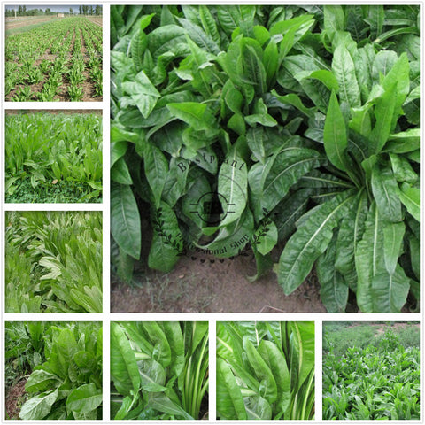 Cichorium Intybus Seeds Common Chicory Seed Endive Ju Ju