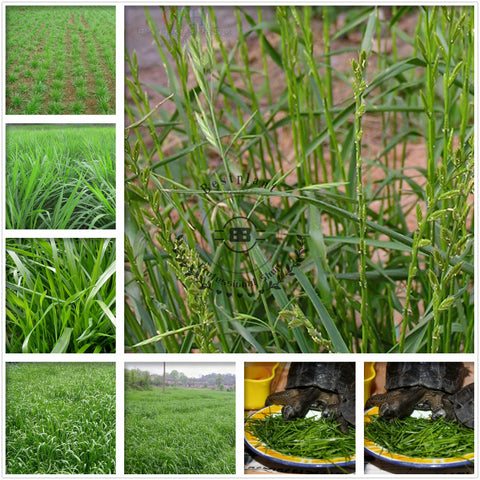 Lolium Perenne Seeds Winter Ryegrass Seed English Ryegrass Hei Mai Cao
