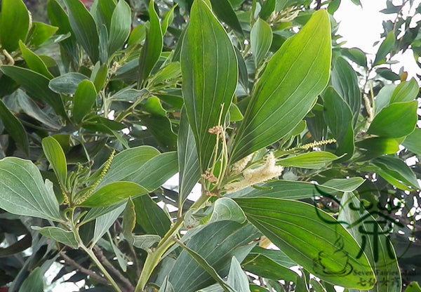 Acacia Mangium, Forest Mangrove Seed, Ma Zhan Xiangsi - Tree Seeds - bestplant - bestplant
