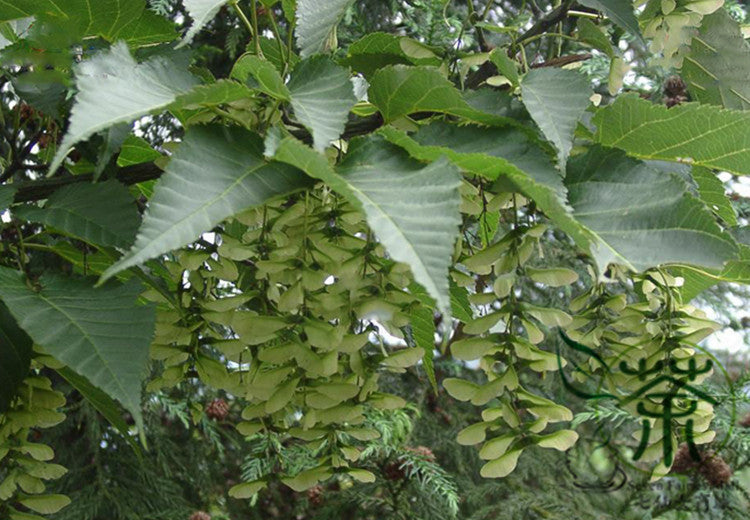 Buy Acer Davidii Pere Davids Maple Seed Qing Zha Qi Online Best