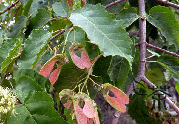 Acer Davidii, Pere David's Maple Seed, Qing Zha Qi - Tree Seeds - bestplant - bestplant