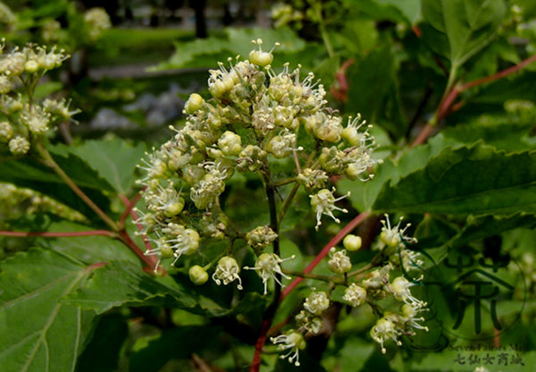 Acer Ginnala, Amur Maple Seed, Cha Tiao Qi - Tree Seeds - bestplant - bestplant