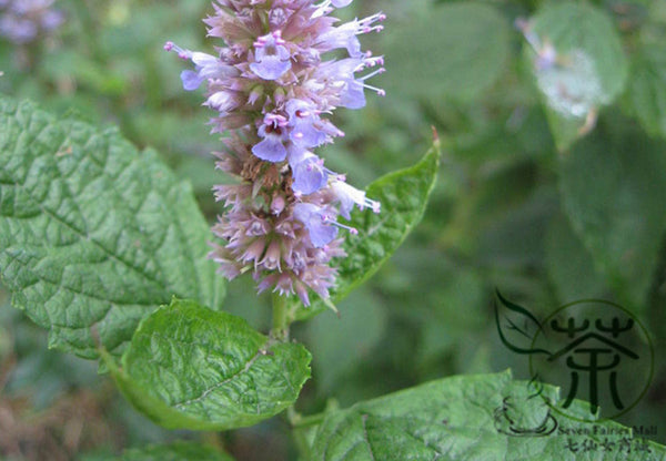 Agastache Rugosa, Blue Licorice Seed, Purple Giant Hyssop Huo Xiang