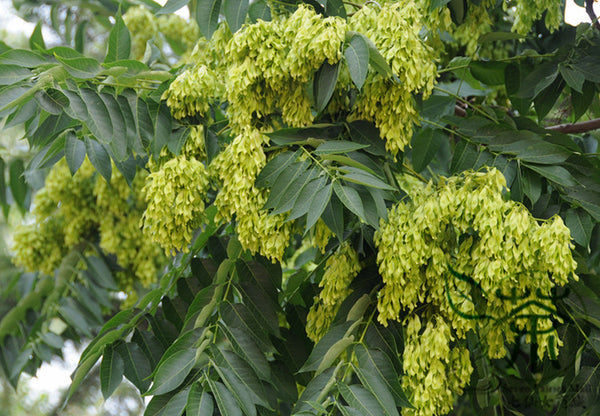 Ailanthus Altissima, Tree Of Heaven Seed, Ailanthus Chou Chun - Tree Seeds - bestplant - bestplant