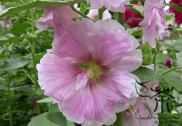Althaea Rosea, Common Hollyhock Seed, Alcea Rosea Shu Kui